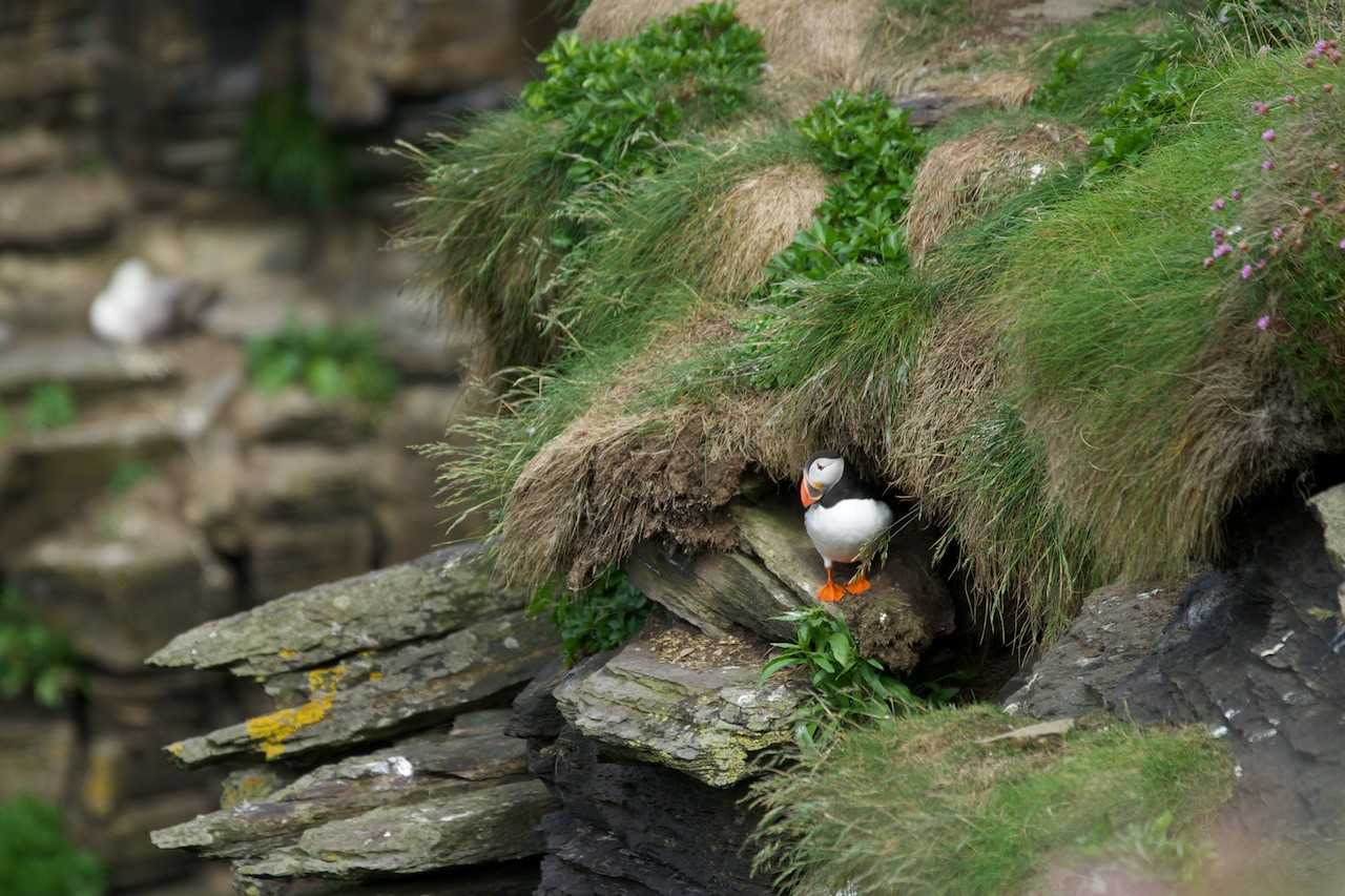 Puffin bei Duncansby Head