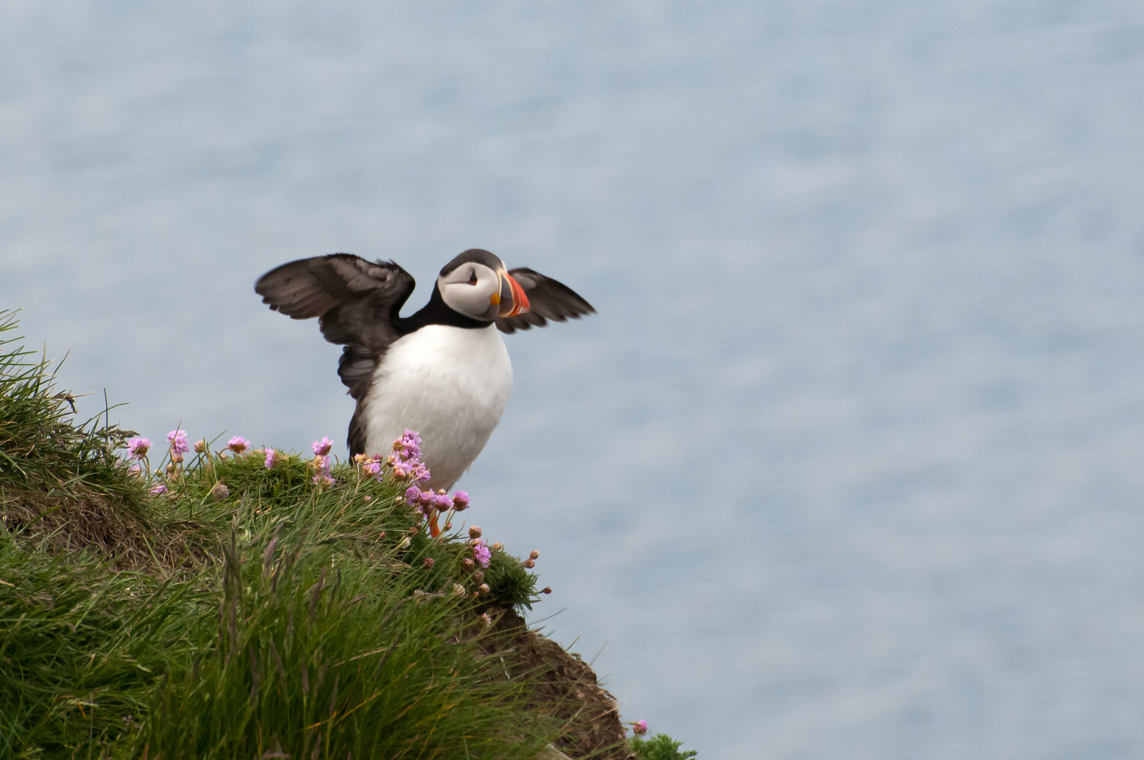 Puffin ready for take-off...