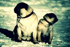 PUGS IN THE SNOW