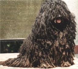 puli-ungarischer hirtenhund