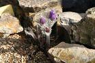 Pulsatilla halleri am 05.03. im Alpinum