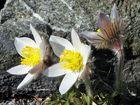 """Pulsatilla vernalis - Frühlings-oder Pelzanemone, die im Alpinum """"sauer"""" stehen muß..."""