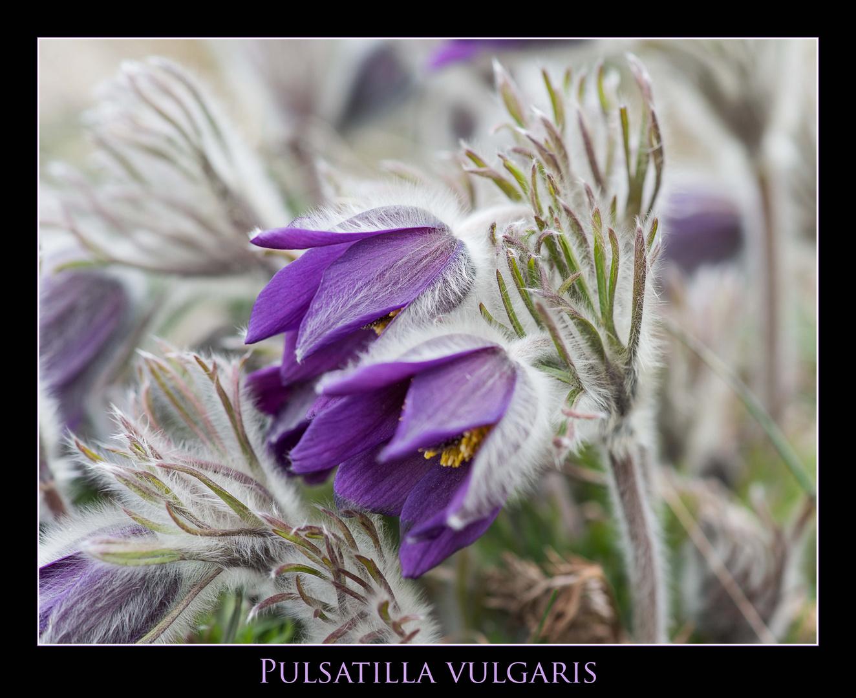 Pulsatilla vulgaris