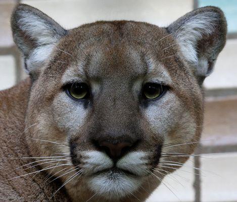 Puma aus dem Tierpark Berlin