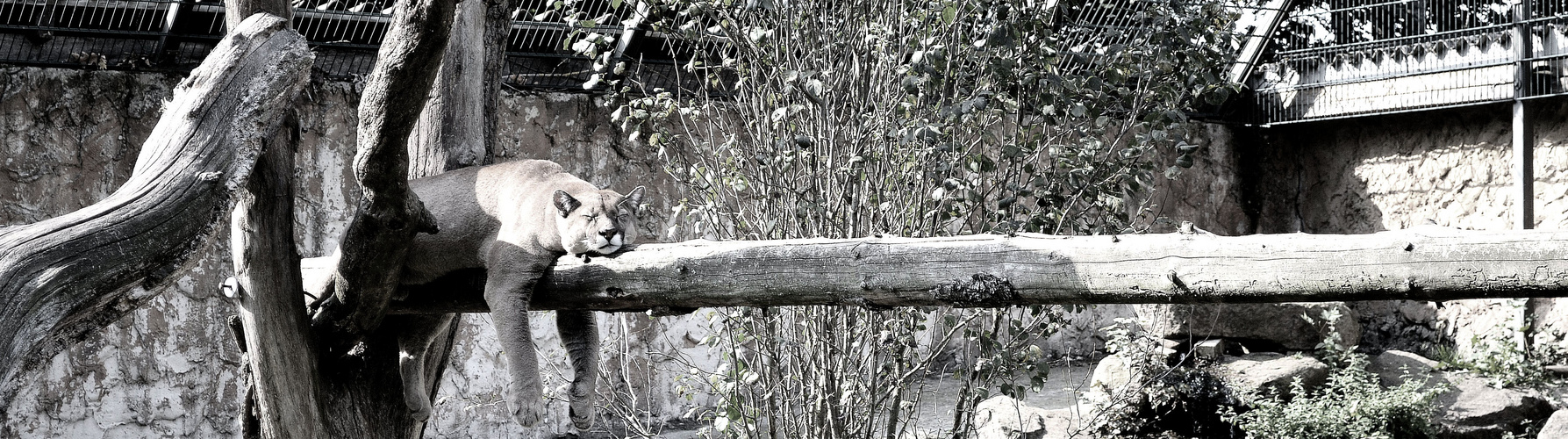Puma beim Mittagsschlaf