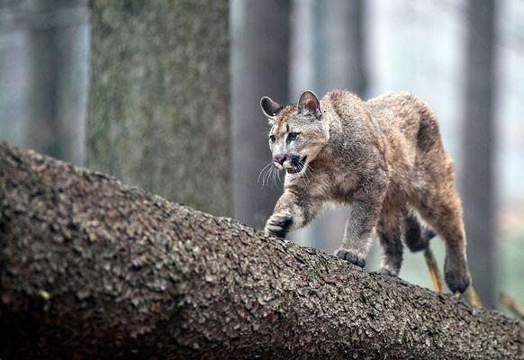 Puma schleicht sich an