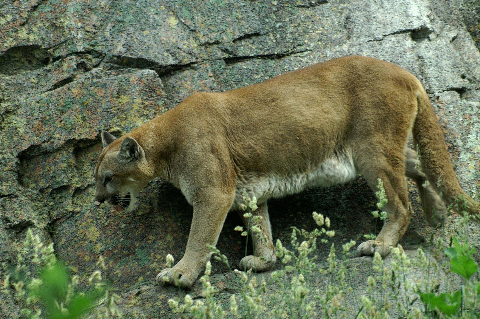 Puma -USA