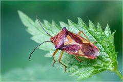 Punaise Acanthosoma haemorroïdale