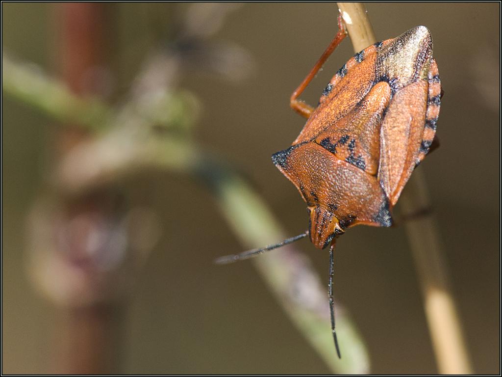 Punaise carpocoris fuscipinus