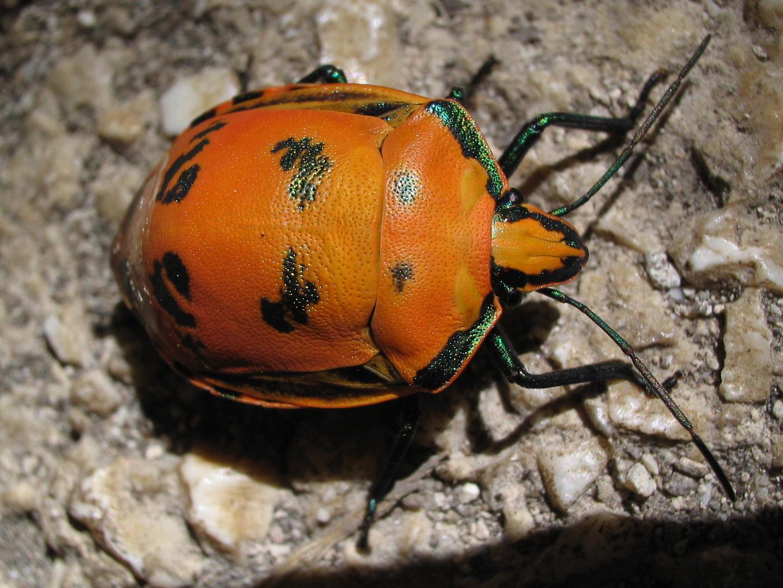 Punaise (Tectocoris diophthalmus)