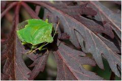 Punaise verte 3 (Palomena sp.)
