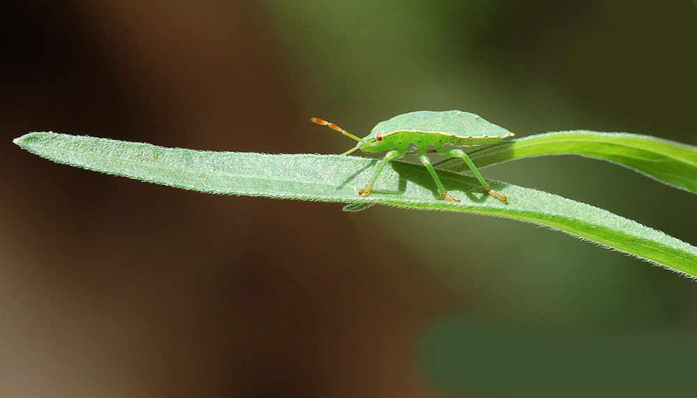 Punaise verte juvénile (Palomena prasina)-Hémiptères.