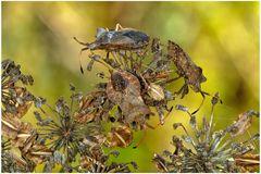 Punaises en automne (Coreus)