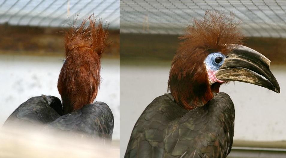 Punkiger Hornvogel
