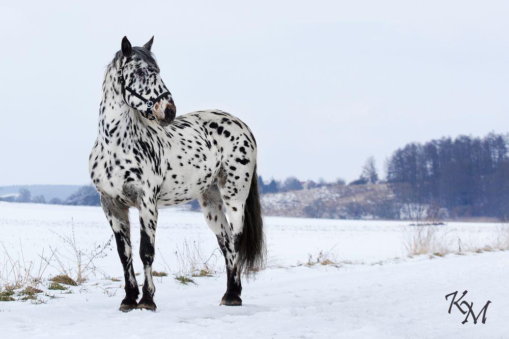 punkte im schnee foto bild tiere haustiere pferde. Black Bedroom Furniture Sets. Home Design Ideas