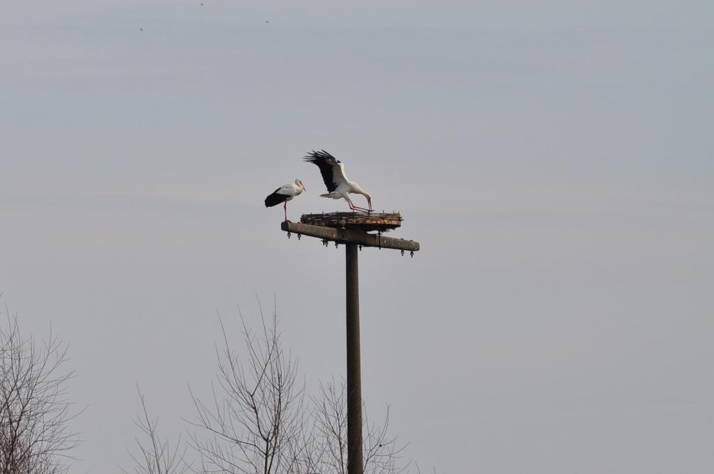 punktgenaue Landung auf der Nesthilfe östlich der Niederwerrieser Brücke