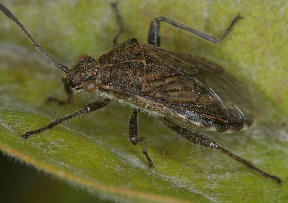 Punktierte Glasflügelwanze (Stictopleurus punctatonervosus)