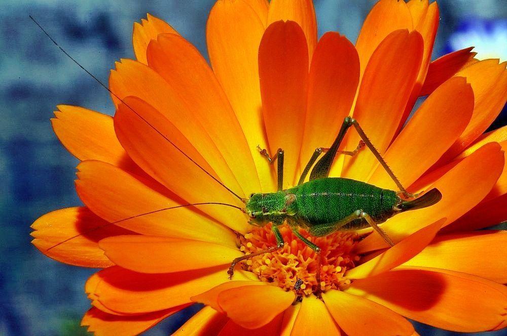 Punktierte Zartschrecke auf einer Ringelblume