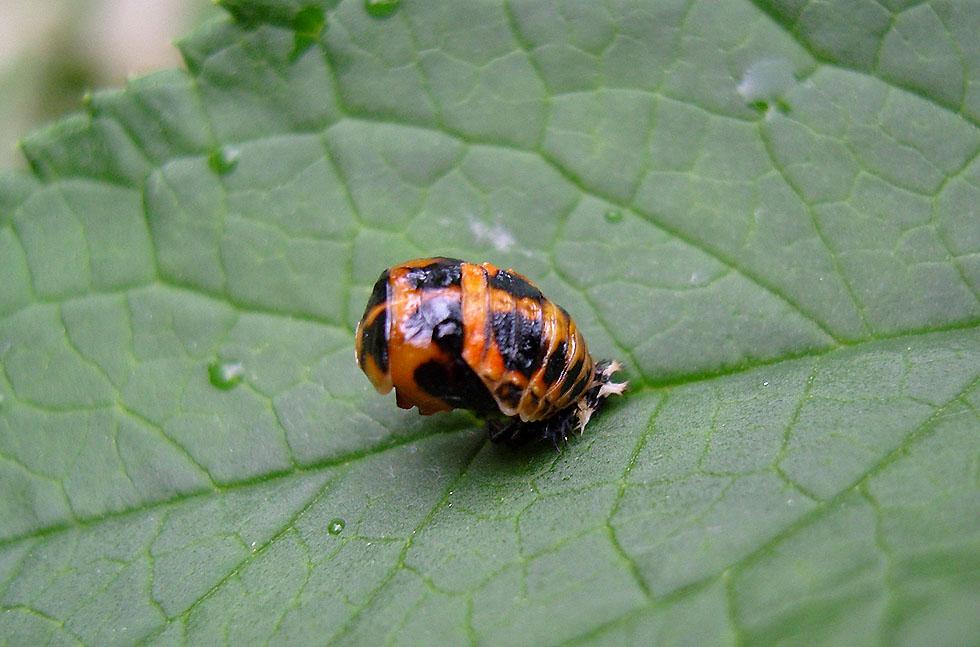 Puppe eines Marienkäfers