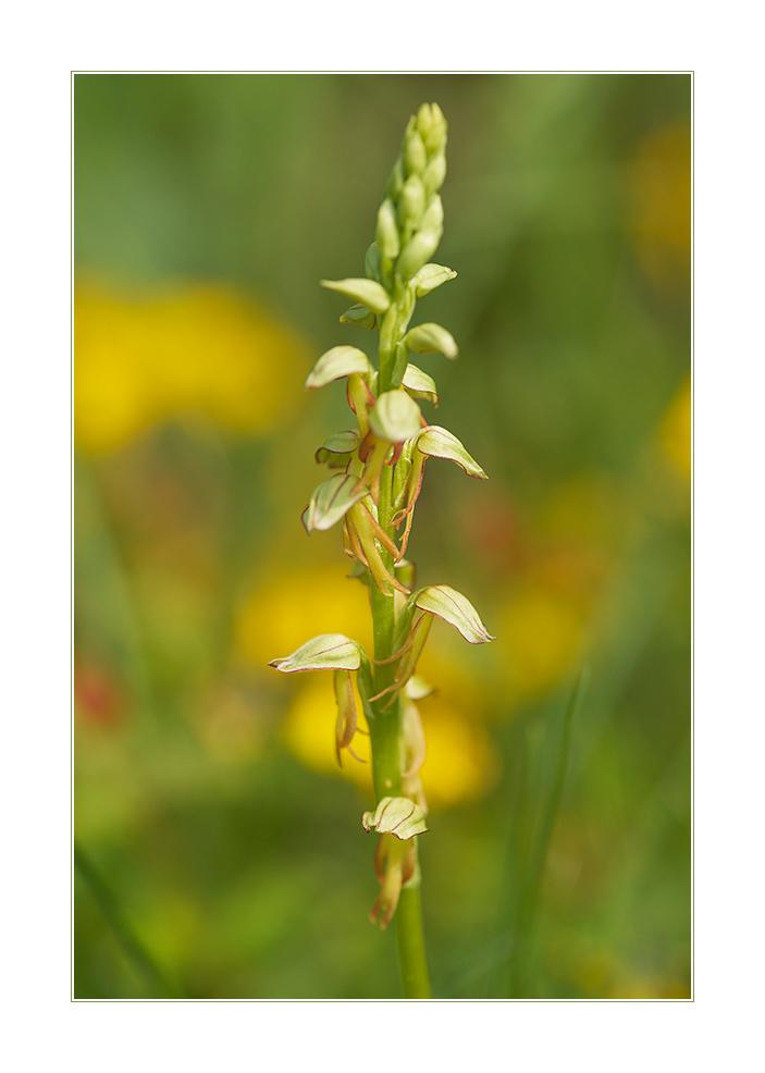Puppenorchis (Aceras anthropophorum)