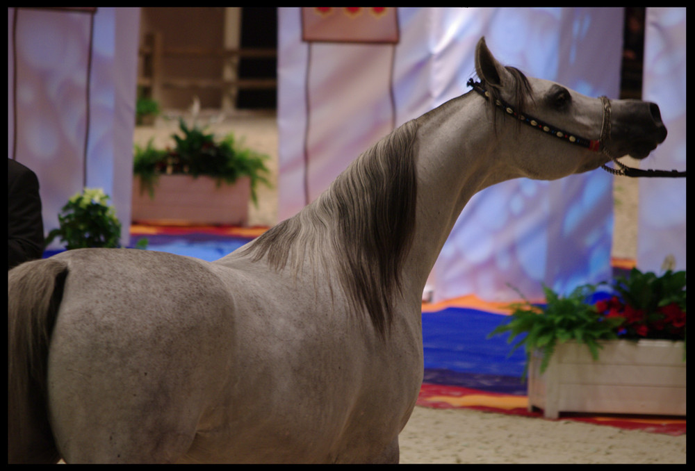 Pur Sang Arabe, Salon du cheval 2008.
