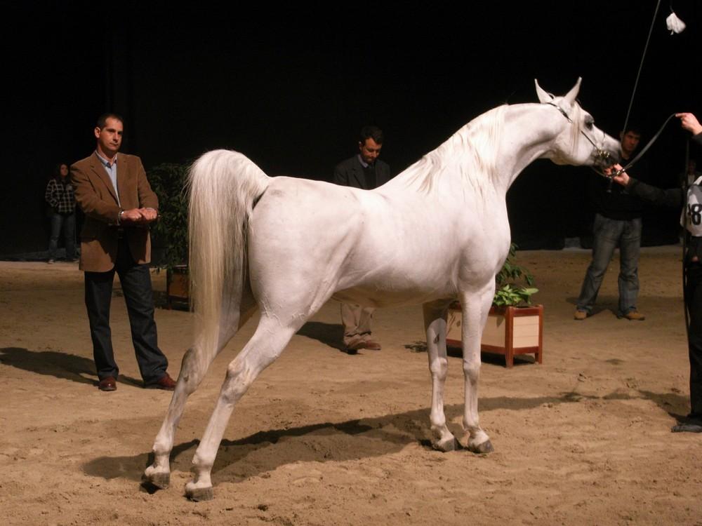 Pur-sang arabe (Salon du cheval d'albi)