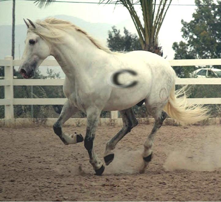 Pura raza Espaniola Stallion2