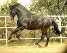 Pura Raza Espanola Stallion