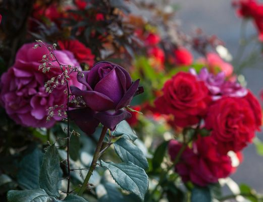 Purple and red roses