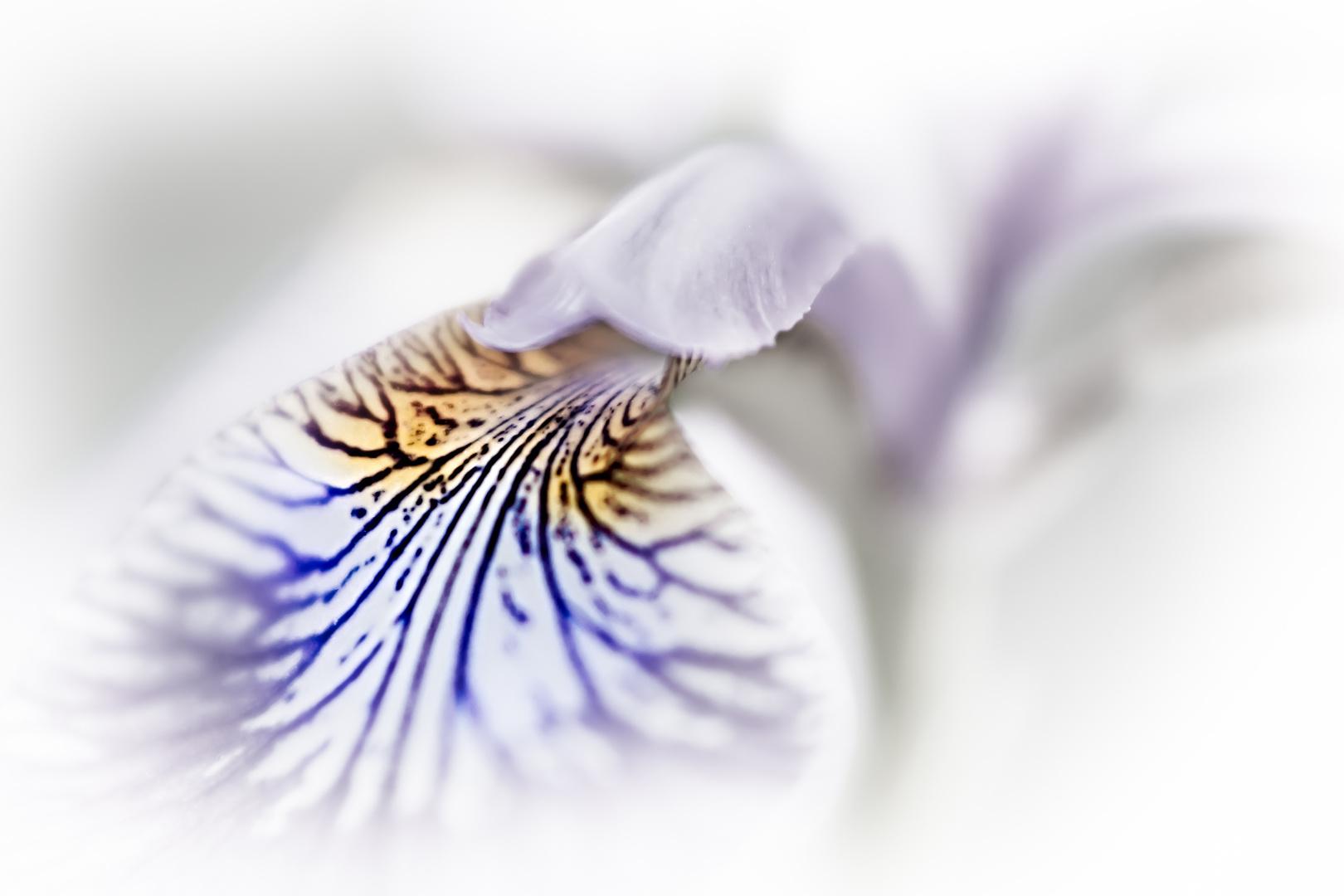 Purple Blur (Iris versicolor)
