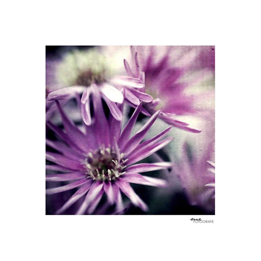 .purple dream.