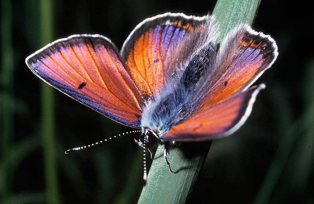 Purple-Edged copper or Palaeochrysophanus hippothoe