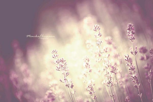 purple fields*