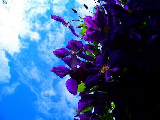 Purple Flowers again