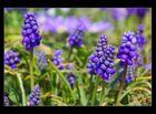 Purple fowers