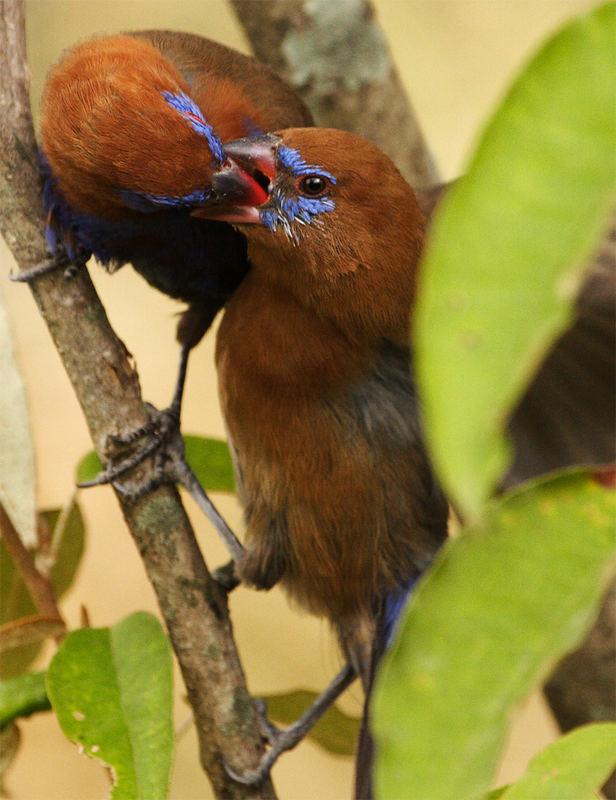 Purple Grenadier / Uraeginthus ianthinogaster