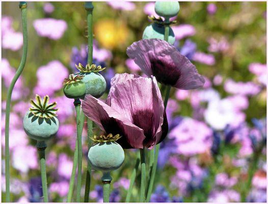 Purple poppy flower