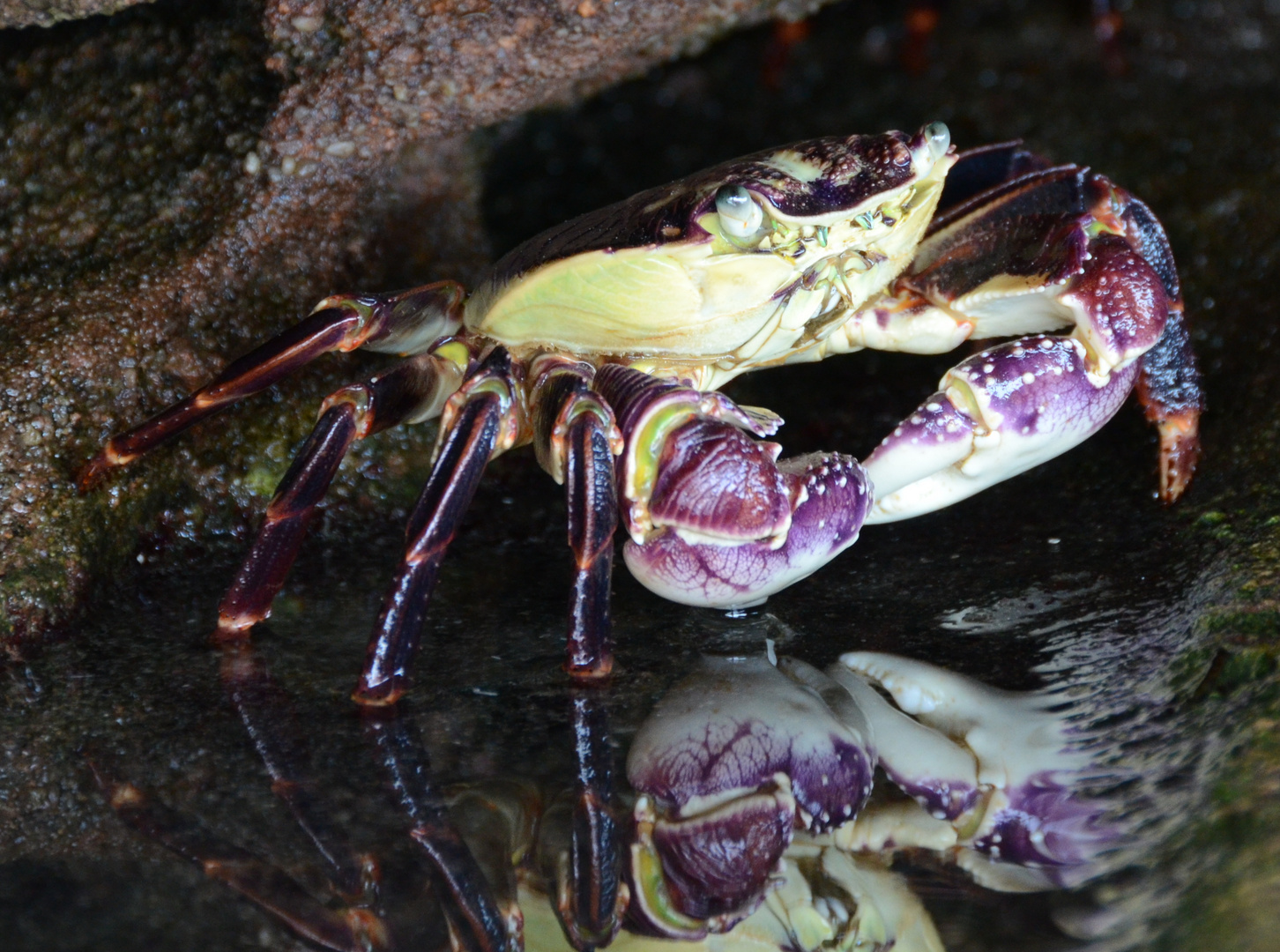 Purple Rock Crab