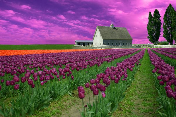 purple tulips with farm-2