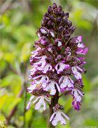 Purpur-Knabenkraut (Orchis purpurea) ......