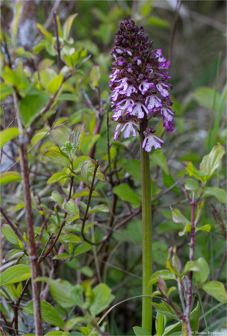Purpur-Knabenkraut (Orchis purpurea) .