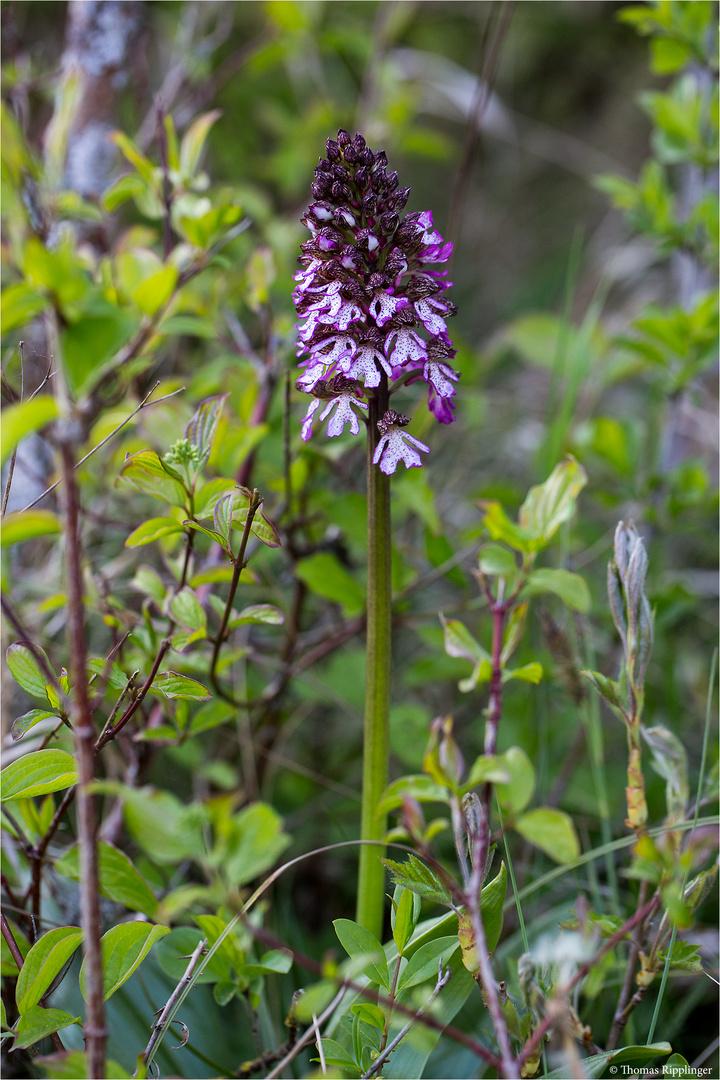 Purpur-Knabenkraut (Orchis purpurea) ..