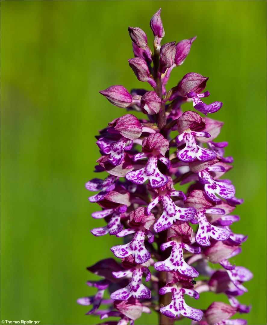 Purpur-Knabenkraut (Orchis purpurea).