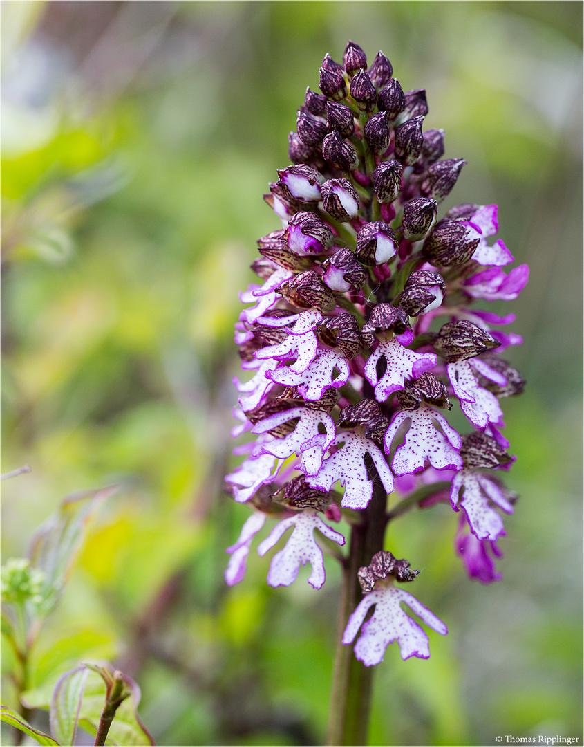 Purpur-Knabenkraut (Orchis purpurea) .....