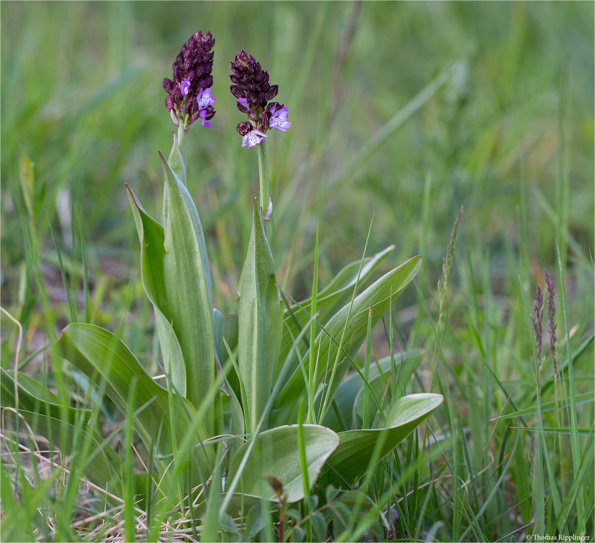 Purpur-Knabenkraut (Orchis purpurea)...