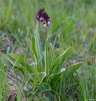 Purpur-Knabenkraut (Orchis purpurea)..