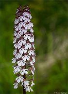 Purpur-Knabenkraut (Orchis purpurea) -.