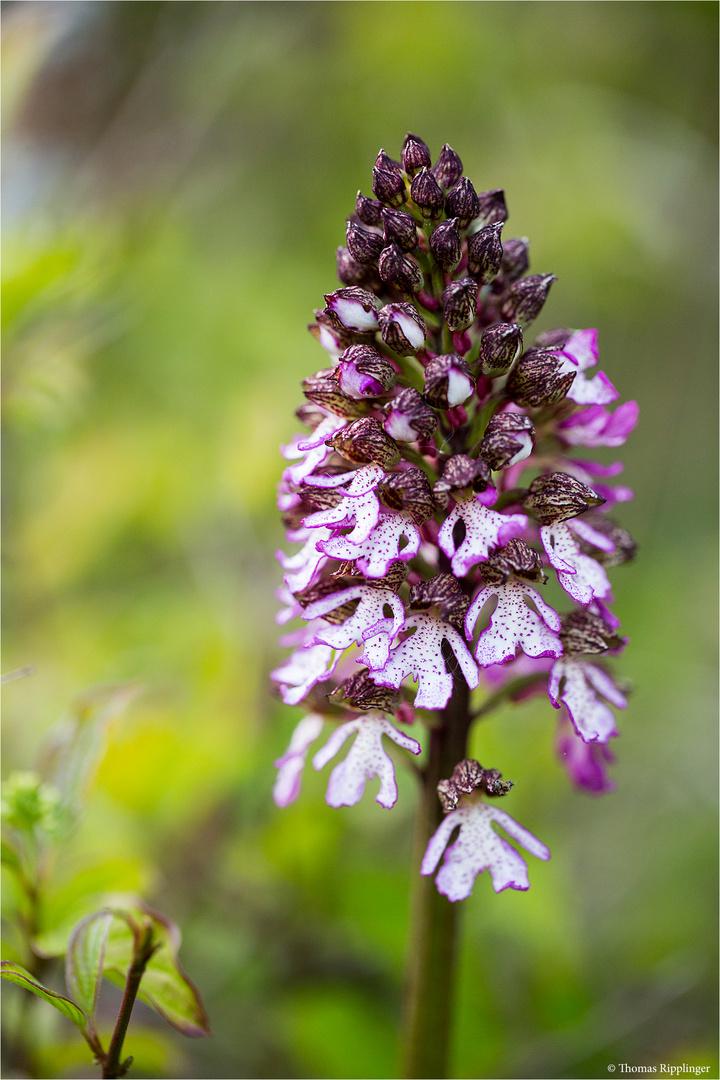 Purpur-Knabenkraut (Orchis purpurea) ....