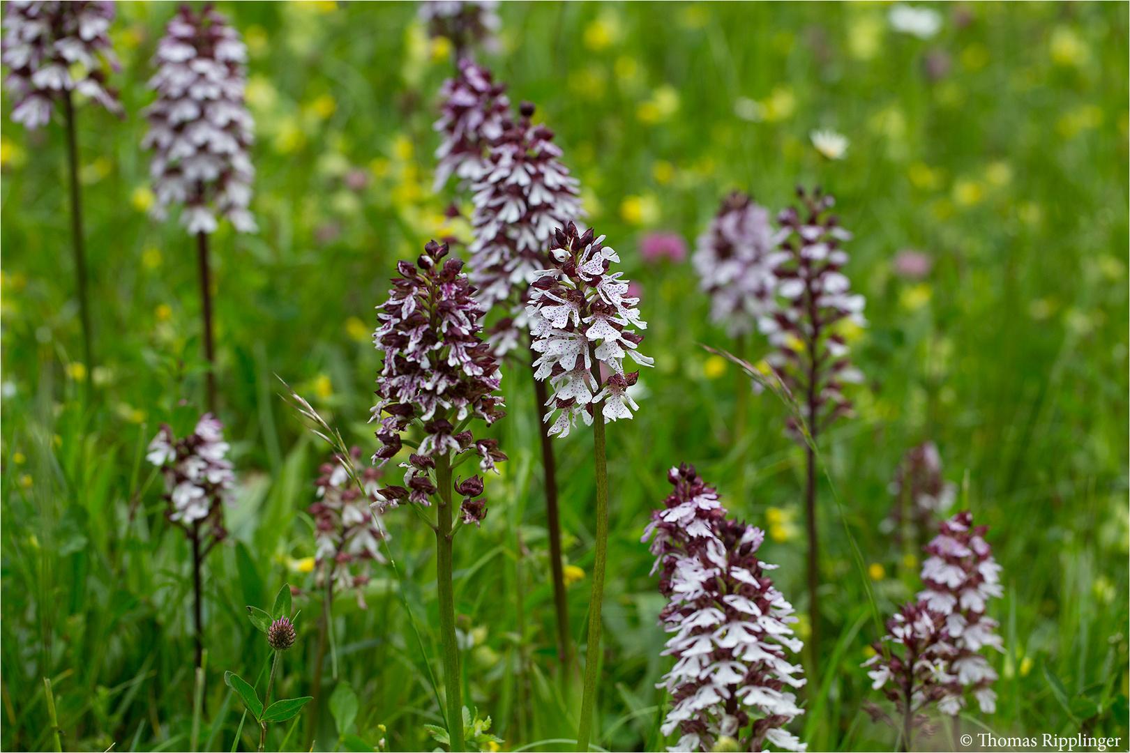 Purpur-Knabenkraut (Orchis purpurea) -