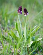 Purpur-Knabenkraut (Orchis purpurea)....